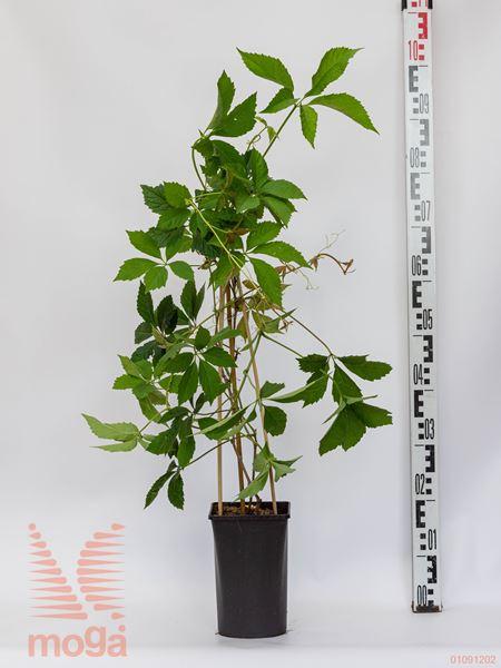 Parthenocissus quinquefolia  P17
