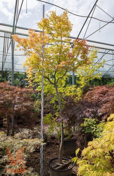 "Acer palmatum ""Sango Kaku"" |300-350|AF deblo|C"
