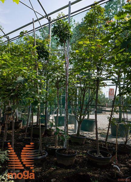 "Acer platanoides ""Globosum""  8/10 AF deblo C"