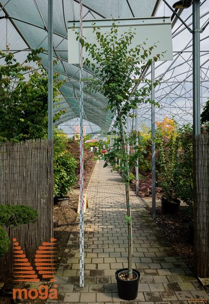 Cercidiphyllum japonicum |8/10|C