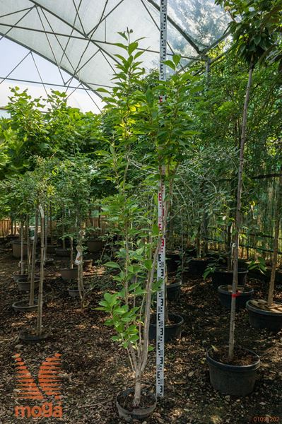 "Prunus serrulata ""Amanogawa"" |175-200|C"