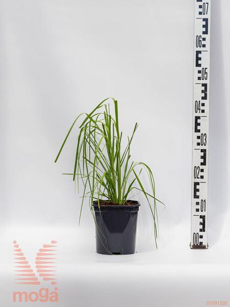 Cortaderia selloana  C