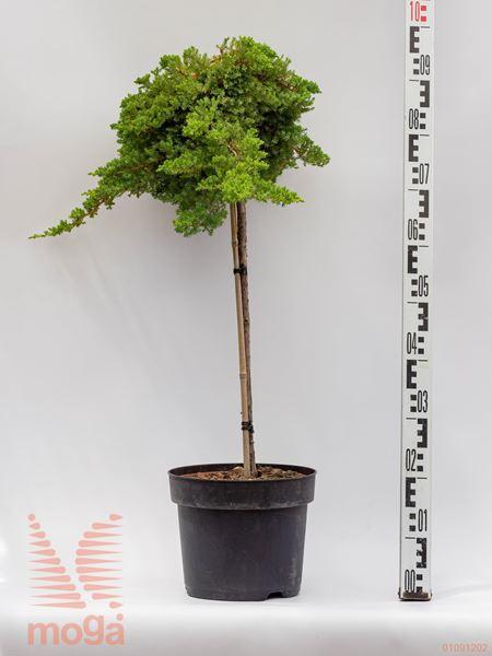 "Juniperus procumbens ""Nana""  1/4 deblo C5"