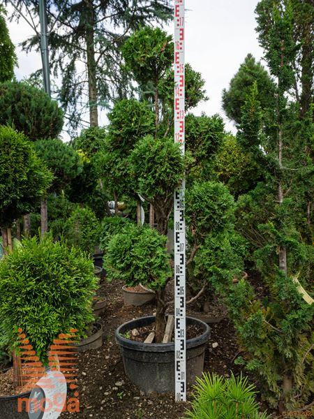 Thuja occidentalis  125-150 pon-pon C