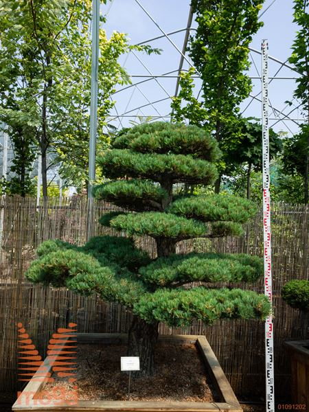 Pinus parviflora |180|FI:170|niwaki|unikat|C126x126x68
