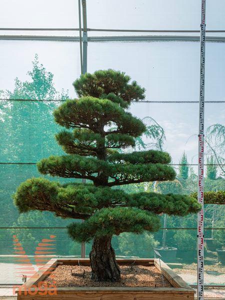 Pinus parviflora |190|FI:180|niwaki|unikat|C126x126x68