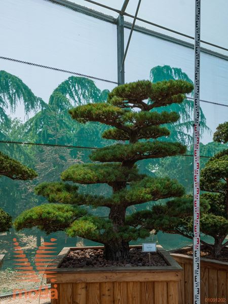 Pinus parviflora |190|FI:180|niwaki|unikat|C105x105x77
