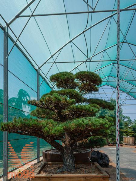 Pinus parviflora |110|FI:190|niwaki|unikat|C102x102x62
