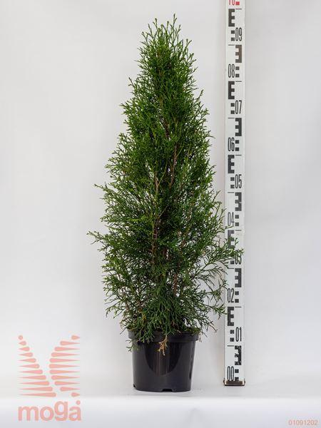 "Thuja occidentalis ""Smaragd"" |60-80|C"