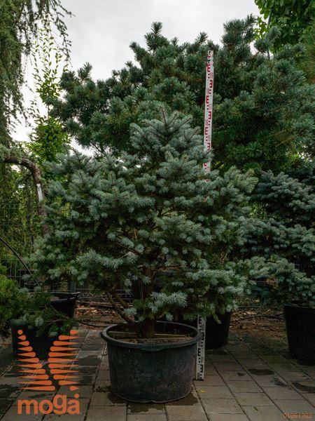 """Picea pungens """"Glauca Globosa""""  100-125 C"""