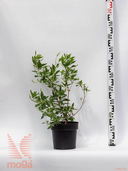 "Clethra alnifolia ""Hummingbird""  40-60 C4"