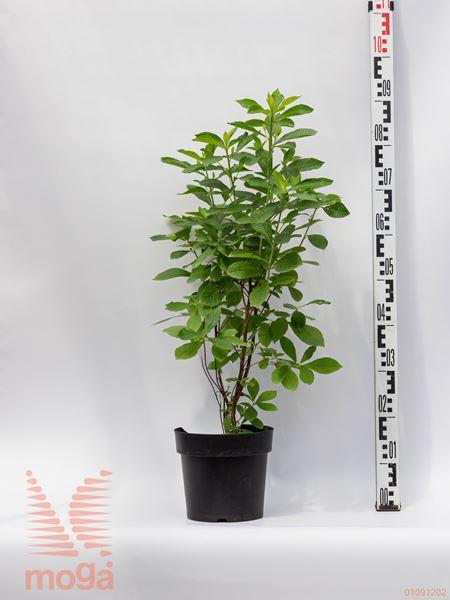 "Clethra alnifolia ""Pink Spire""  40-60 C4"