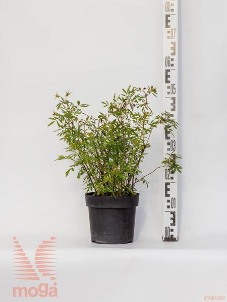 Rosa nitida  40-60 C