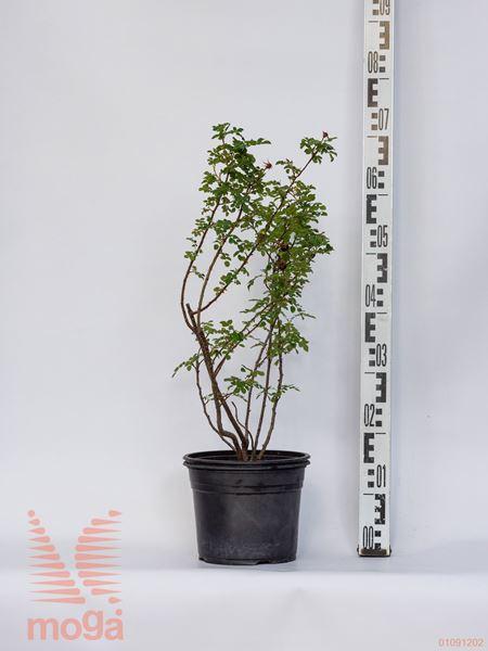 Rosa rugosa |40-60|C
