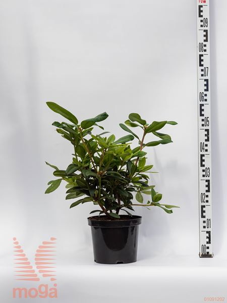 """Rhododendron """"Alfred"""" 