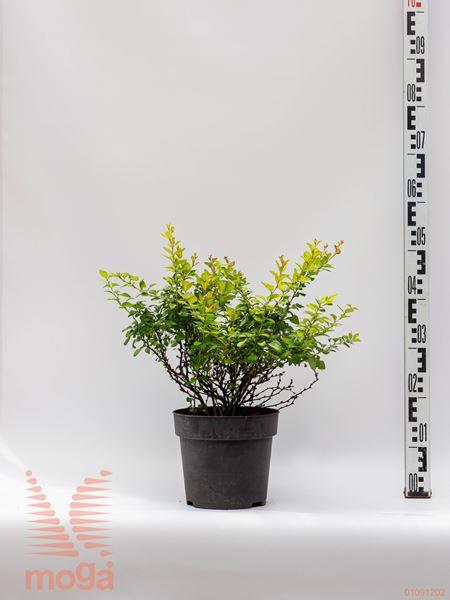 "Berberis thunbergii ""Limoncello""  20-30 C4"