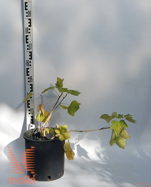 "Ribes rubrum ""Rovada""  C2"