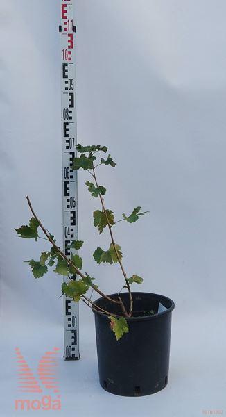 Ribes nidigrolaria |C2