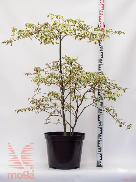 """Cornus alternifolia """"Argentea""""  60-80 P26"""