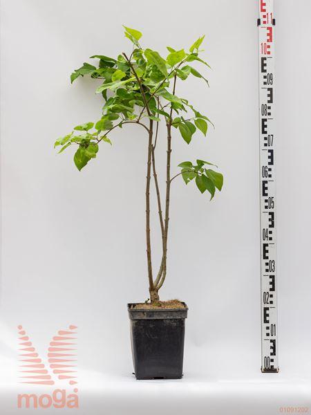 "Syringa hyacinthiflora ""Lavender Lady""  40-60 C"