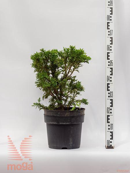 "Chamaecyparis obtusa ""Draht""  20-30 C"