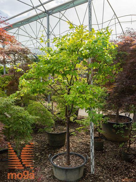 Acer griseum  10/12 1/2 deblo C