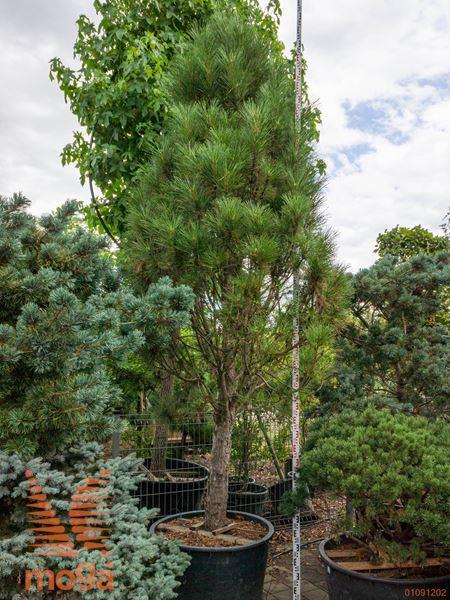 """Pinus nigra """"Sinfonia""""  300-350 40/45 1/2 deblo C"""