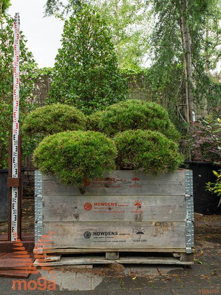 "Pinus mugo ""Winter Gold"" |150-175|bonsai - oblika|C102x102x62"