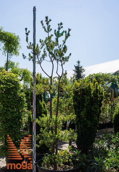 "Pinus parviflora ""Azuma Goyo"" |200-250|soliter|C"