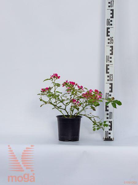 "Rosa ""Pink Drift"" ®  C1,5"