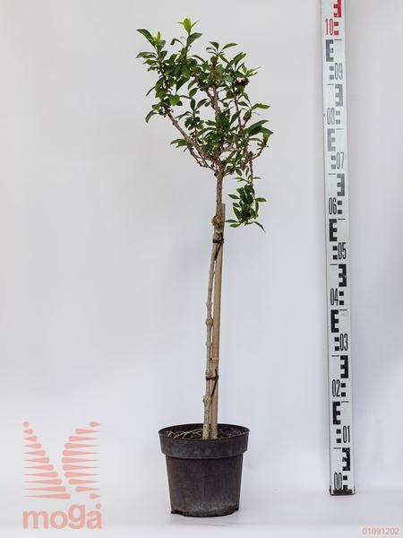 Forsythia intermedia  1/4 deblo P19