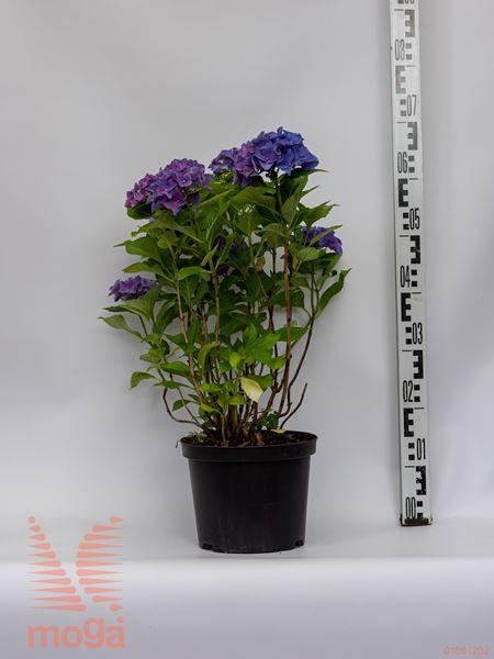 "Hydrangea macrophylla ""Blue Ball"" |20-40|P23"