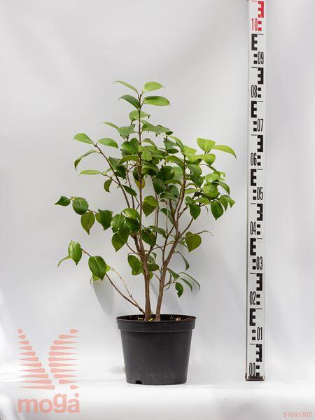 Camellia japonica |20-40|bela|P19