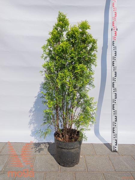"Thuja occidentalis ""Jantar""  60-80 P26"