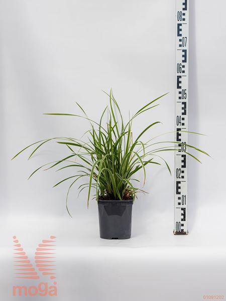 "Carex morrowii ""Ice Dance"" |P17"