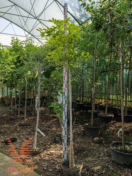 "Prunus cerasifera ""Ruby"" ® |1/2 deblo|P26"