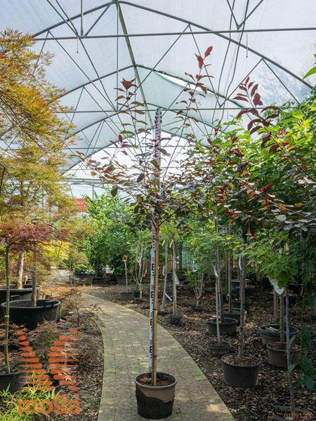 Prunus cistena |1/2 deblo|P26