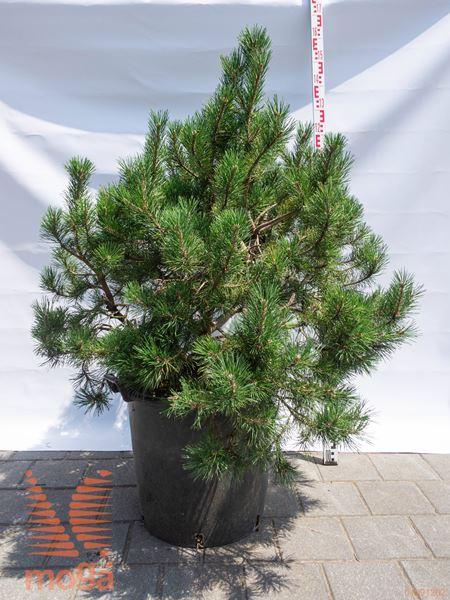 Pinus mugo |60-80|FI:60-80|extra|C
