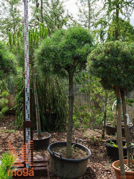 Pinus sylvestris  1/2 deblo extra C