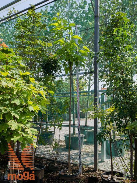 "Morus platanifolia ""Fruitless"" |8/10|AF deblo|C"
