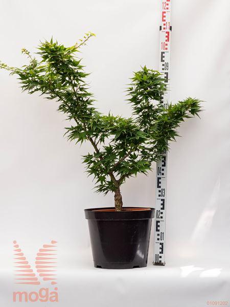 "Acer palmatum ""Mikawa Yatsubusa"" |60-80|C"