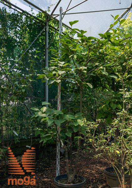 lotusni ebenovec