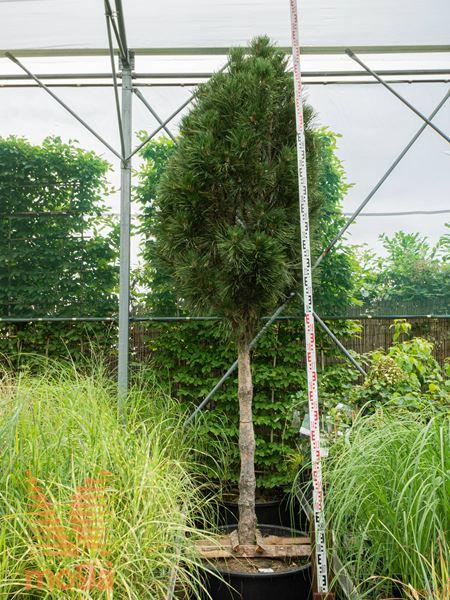 """Pinus nigra """"Sinfonia""""  250-300 25/30 1/2 deblo C"""