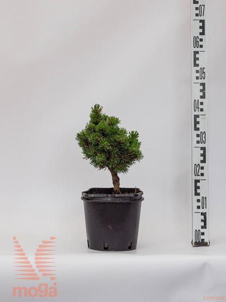 "Pinus mugo ""Picobello""  20-30 FI:20-30 C"
