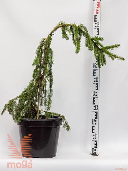 "Picea abies ""Pendula Major"" |60-80|C"