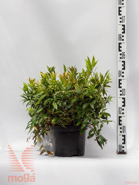 "Leucothoe axillaris ""Scarleta"" ® |20-40|C"