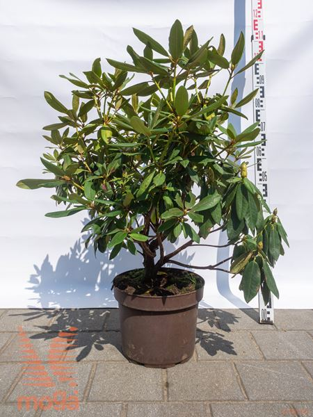 "Rhododendron ""Rabatz"" ® |40-60|C12"