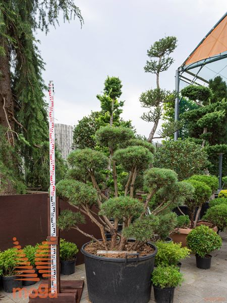 "Pinus sylvestris ""Watereri"" |100-125|FI:125-150|bonsai - oblika|extra|C"