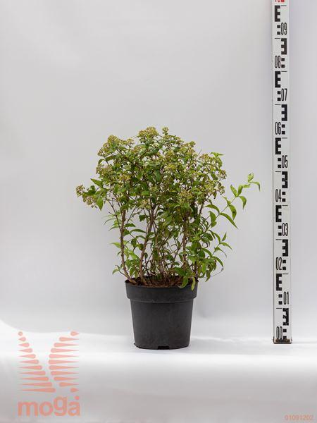 "Deutzia compacta ""Lavender Time"" |20-40|C"