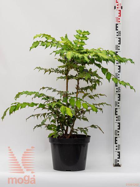 Mahonia bealei  40-60 C